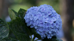 Purple Hydrangea Flower - stock footage