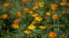 Orange Field Flowers Stock Footage