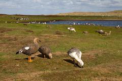 Stock Photo of landscape falkland islands with upland goose