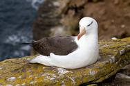 Stock Photo of black-browed albatross