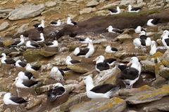black-browed albatross - stock photo