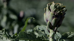 Stock Video Footage of Artichoke Ready for Harvesting