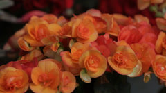 Orange Begonia Plant in Bloom Stock Footage