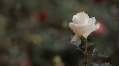 Single White Rose Stock Footage