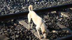 Street dog on the train track Stock Footage
