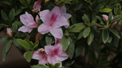 Azalea Bush in Bloom Stock Footage