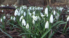 Snowdrops in windy woodland floor late winter Stock Footage