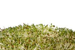 Organic alphalpha sprout Stock Photos