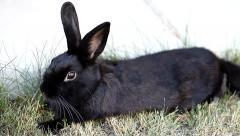 Small dwarf black bunny lying - stock footage