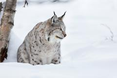 lynx sitting in the snow - stock photo