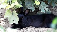 Small dwarf black bunny lying Stock Footage