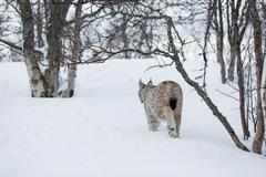 lynx walking in cold forest - stock photo