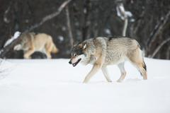 two wolves in the snow - stock photo