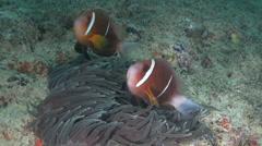 Anemone fish Arabian Sea Oman (2) - stock footage