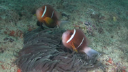 Stock Video Footage of Anemone fish Arabian Sea Oman (2)