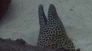 Stock Video Footage of Black spotted moray eel Arabian sea Oman (2)