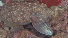 Cuttlefish (Night) Arabian Sea Oman (3) - stock footage