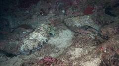 Cuttlefish (Night) Arabian Sea Oman - stock footage