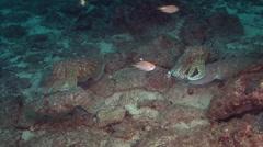 Cuttlefish Arabian Sea Oman (2) - stock footage