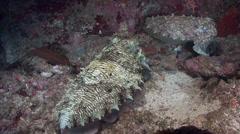 Cuttlefish (Night) Arabian Sea Oman (2) Stock Footage