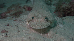 Juvenile Crocodile fish Arabian Sea Oman (2) - stock footage