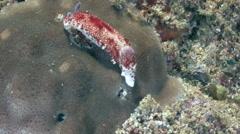 Nudi branche Arabian sea Oman - stock footage
