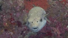 Pufferfish Arabian sea Oman - stock footage