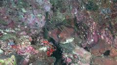 Pufferfish Arabian sea Oman (3) - stock footage