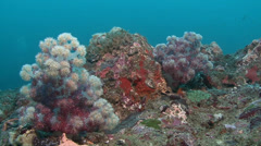Soft Coral Arabian sea Oman (2) - stock footage