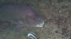 Snapper Arabian Sea Oman Close (2) Stock Footage