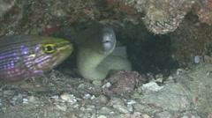 White moray eel Arabian sea Oman (2) - stock footage