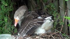 Goose nesting Stock Footage