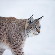 lynx walking in the snow - stock photo