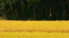 Asian golden rice paddy in wind,wait for the harvest,against tree background. Stock Footage
