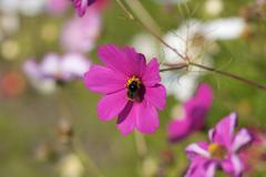 Bee on purple flower Stock Photos