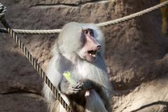baboon (papio hamadryas) - stock photo