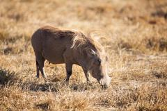 wart hog - stock photo