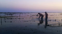 Man harvesting seaweed on beach Stock Footage