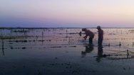 Stock Video Footage of Man harvesting seaweed on beach