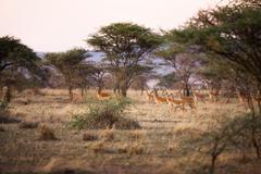gazelles in serengeti - stock photo
