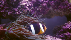 Seawater and Clownfish - stock footage