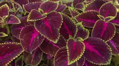 Begonia Bowerae Stock Footage