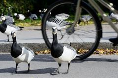 Geese in the park before bikeway cyclist Stock Photos