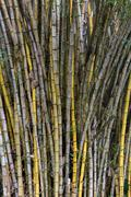 Stand of bamboo canes Stock Photos