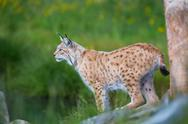 Stock Photo of proud lynx scout for prey
