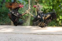 Fighting cocks in a vicious attack Stock Photos