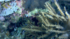 Glorious flatworm (Pseudobiceros gloriosus) Stock Footage