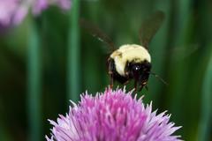 golden northern bumblebee - stock photo