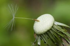 Close up of a spent dandelion Stock Photos
