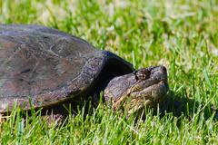 Common snapping turtles Stock Photos